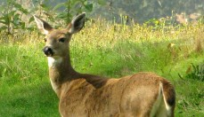 Female_Blacktail_Deer1